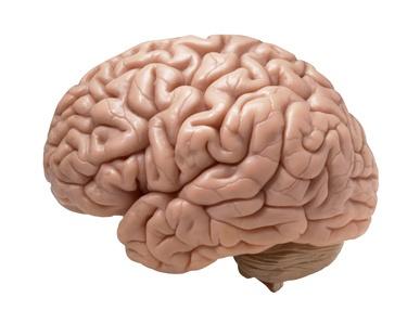 Le cerveau